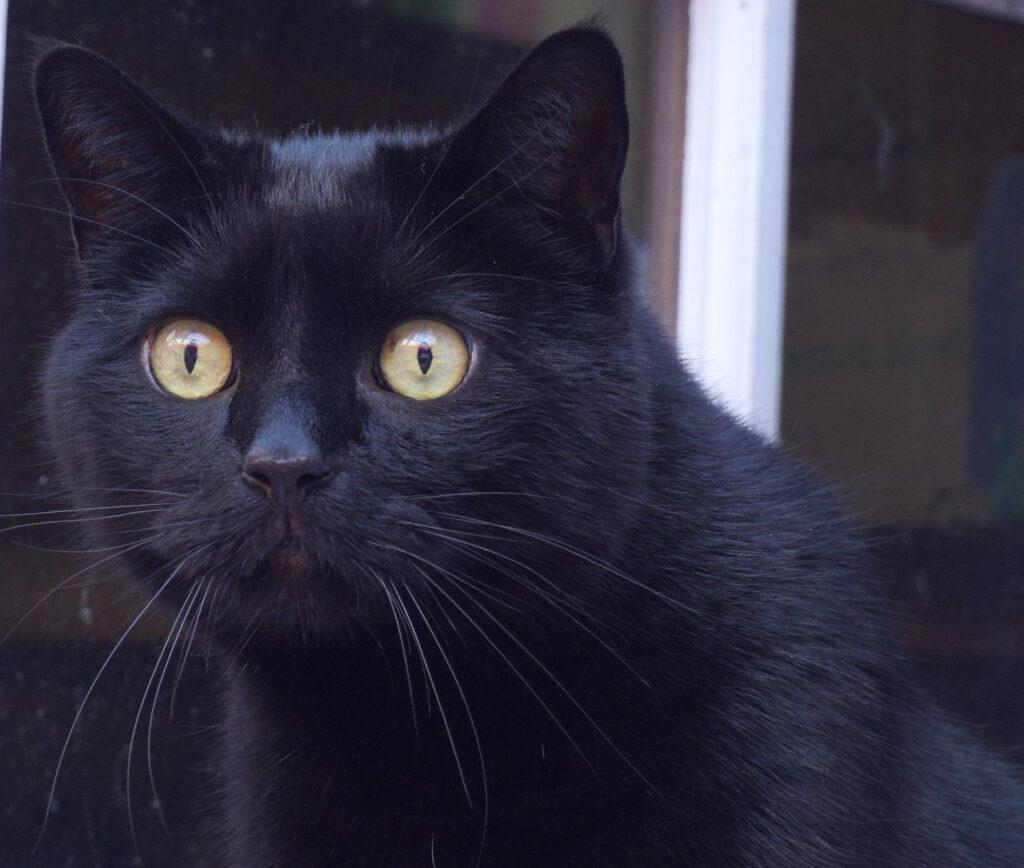 Prince Buddha Black cat