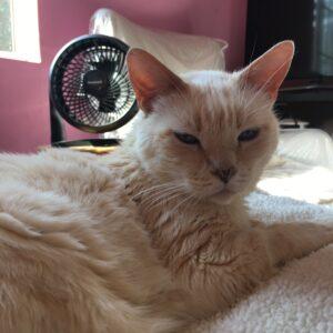 Cat in front of fan